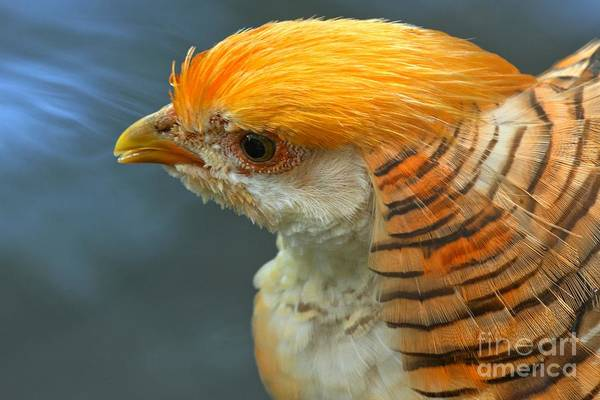 Photograph - A Golden Pheasant by Adam Jewell