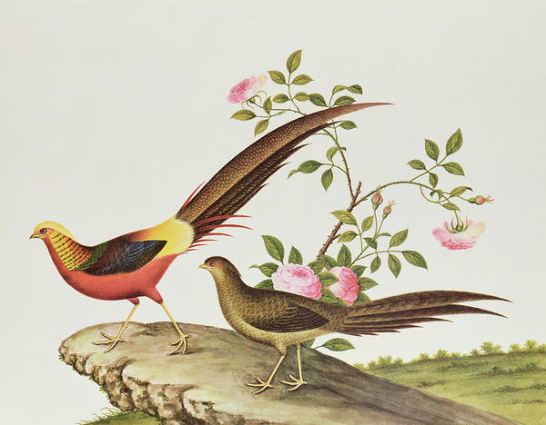 Ch Painting - A Golden Pheasant by Chinese School