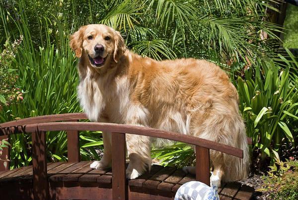 Service Dog Photograph - A Golden Retriever Standing On A Wooden by Zandria Muench Beraldo
