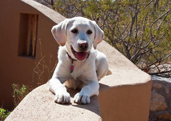 Adobe Photograph - A Goldendoodle Puppy Lying On An Adobe by Zandria Muench Beraldo