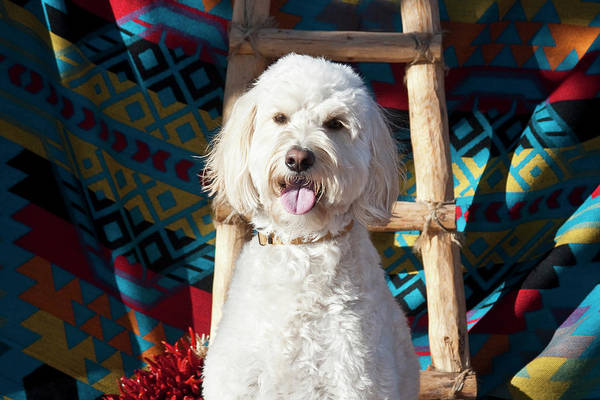Crossbreed Wall Art - Photograph - A Goldendoodle Sitting by Zandria Muench Beraldo