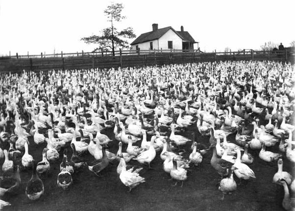 Abundant Wall Art - Photograph - A Goose Ranch by Underwood Archives