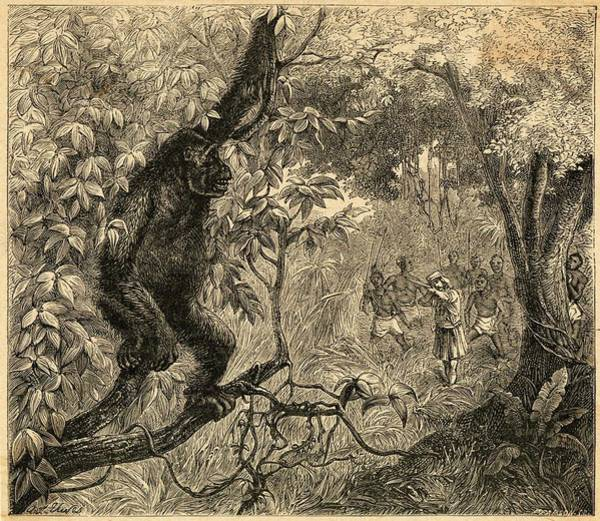 Wall Art - Drawing - A Gorilla Is Hunted By A White  Man by Mary Evans Picture Library