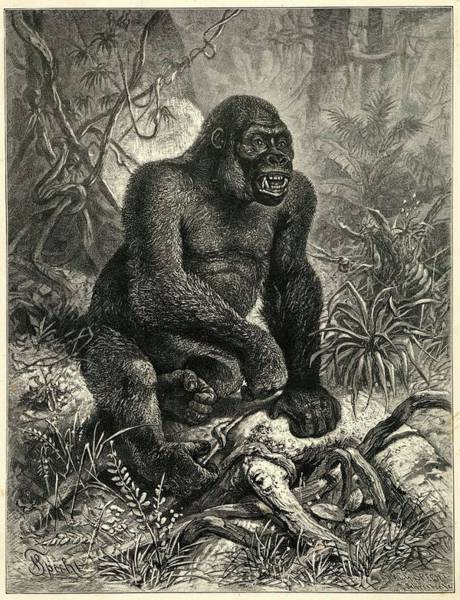 Wall Art - Drawing - A Gorilla (troglodytes  Gorilla) by Mary Evans Picture Library