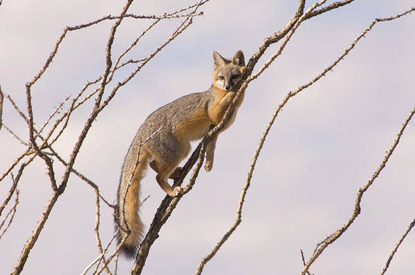 Wall Art - Photograph - A Gray Fox In An Ocotillo Plant Looking by Tom Bol