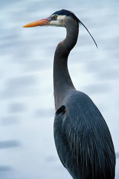 Wall Art - Photograph - A Great Blue Heron by Nick Norman