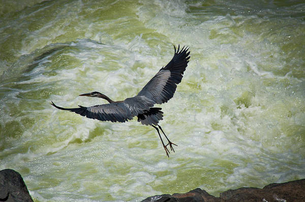Chesapeake And Ohio Wall Art - Photograph - A Great Blue Heron Takes Flight by Jeremy Wade Shockley