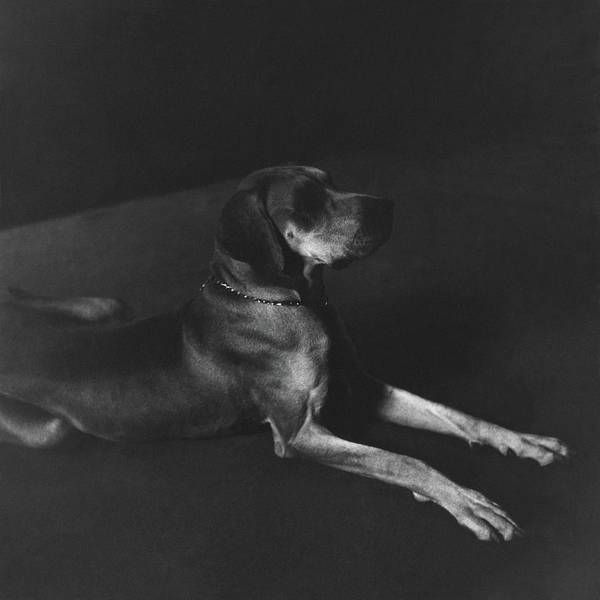 Photograph - A Great Dane by John Rawlings