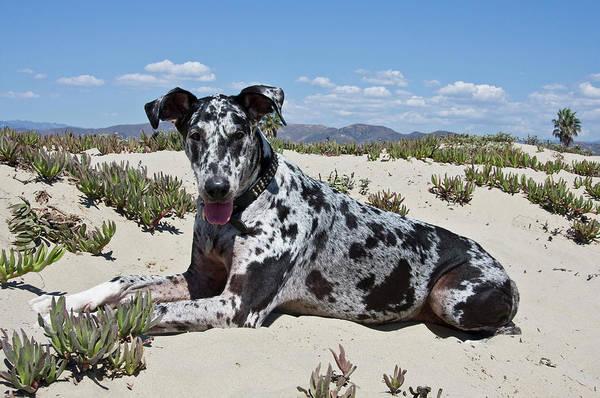 Ventura Photograph - A Great Dane Lying In The Sand by Zandria Muench Beraldo