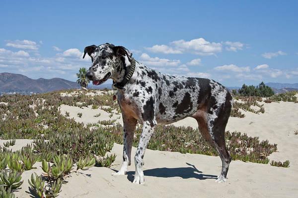 Ventura Photograph - A Great Dane Standing In Sand by Zandria Muench Beraldo