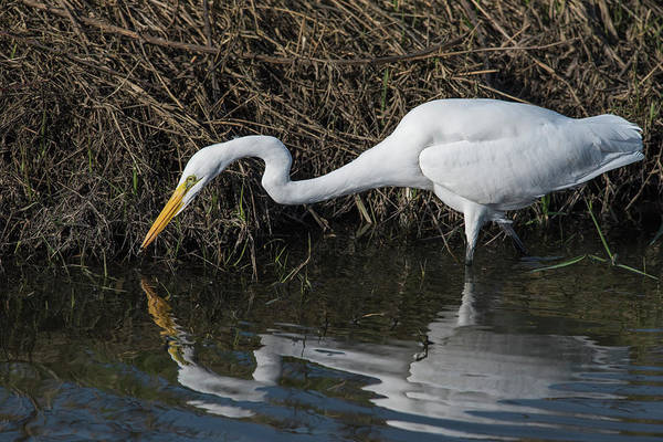Wall Art - Photograph - A Great Egret  Ardea Alba  Stalks Small by Robert L. Potts