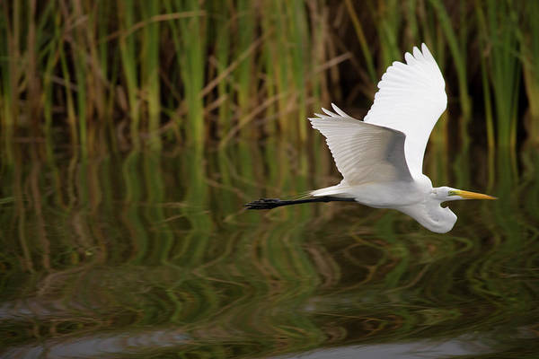 Photograph - A Great Egret Skims The Surface by Michael Melford