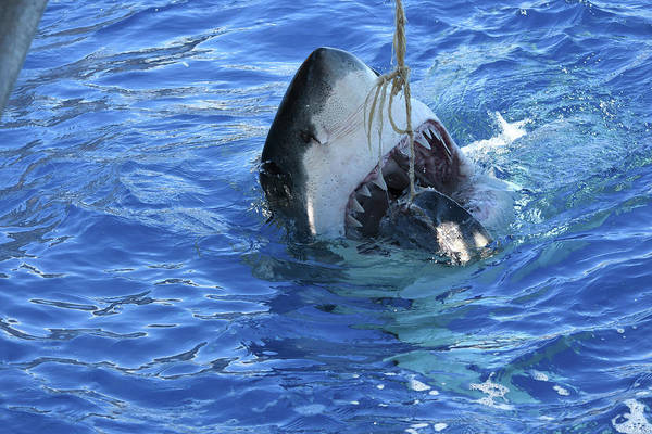 Wall Art - Photograph - A Great White Shark Attacking Tuna by Brent Barnes