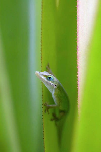 Green Anole Photograph - A Green Anole Is An Arboreal Lizard by David R. Frazier