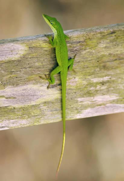 Green Anole Photograph - A Green Anole Lizard Basks At Corkscrew by Darron R. Silva