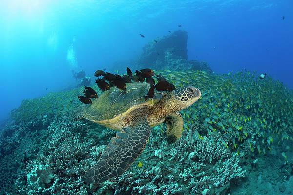 Wall Art - Photograph - A Green Sea Turtlec  Chelonia Mydas by Dave Fleetham