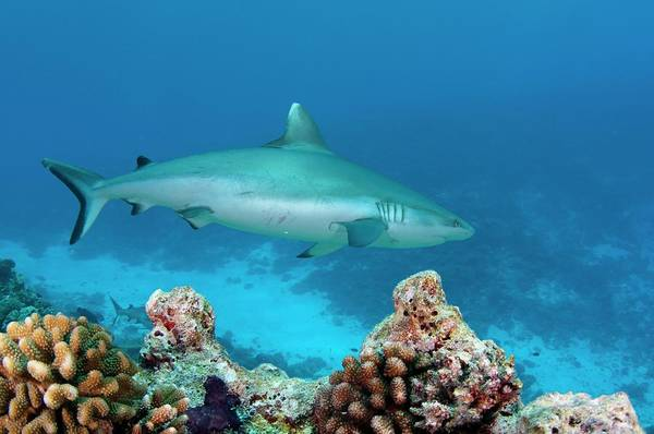 Carcharhinidae Photograph - A Grey Reef Shark Swimming Over A Reef by Scubazoo