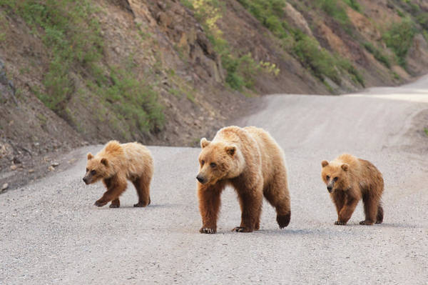 Grizzly Bear Photograph - A Grizzly Bear Mother Two Cubs Are by Michael Jones / Design Pics