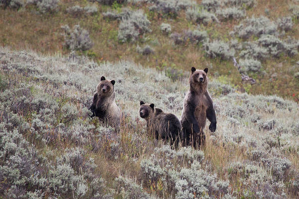 Grizzly Bears Photograph - A Grizzly Bear With Its Two Cubs by Ben Horton