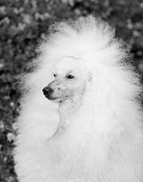 Pedigreed Photograph - A Groomed Standard Poodle by Underwood Archives