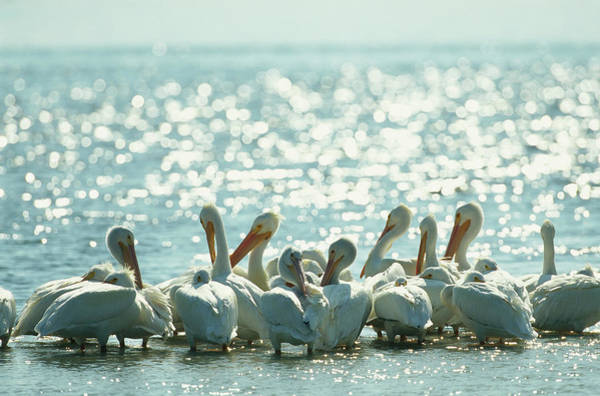 Wall Art - Photograph - A Group Of American White Pelicans by Klaus Nigge