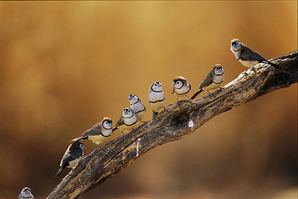 Epping Wall Art - Photograph - A Group Of Double-barred Finches by Jason Edwards