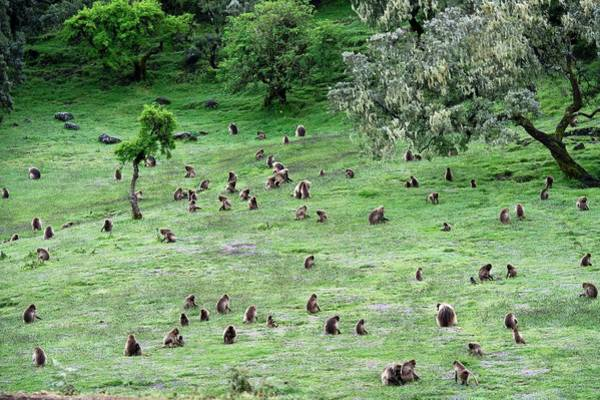 Baboons Photograph - A Group Of Grazing Gelada Baboons by Tony Camacho