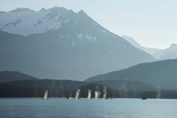Juneau Photograph - A Group Of Humpback Whales Fill Their by John Hyde / Design Pics
