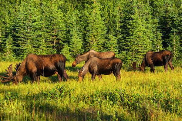 A Group Of Moose, Two Bulls And Two Art Print