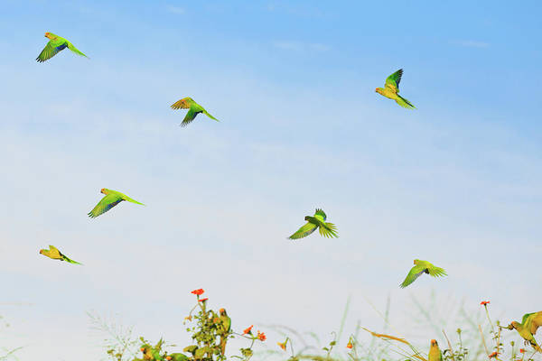 Wall Art - Photograph - A Group Of Peach-fronted Parakeets by Edson Vandeira