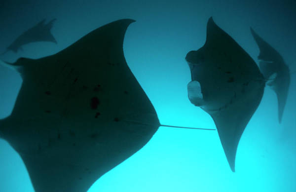 Wall Art - Photograph - A Group Of Silhouetted Manta Rays by Heather Perry
