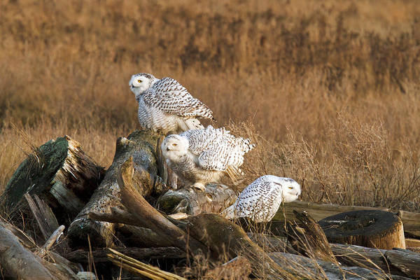 Metro Vancouver Wall Art - Photograph - A Group Of Snowy Owls by Michael Russell