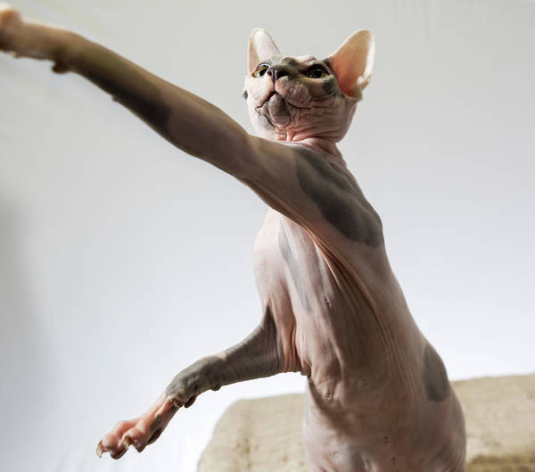 A Hairless Sphinx Cat Takes A Swing Art Print