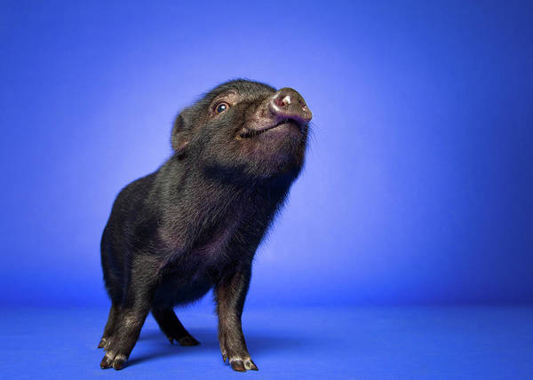Pig Photograph - A Happy Pig by Square Dog Photography