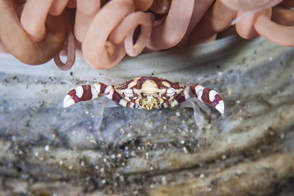 Tube Anemone Photograph - A Harlequin Swimming Crab Sits by Ethan Daniels