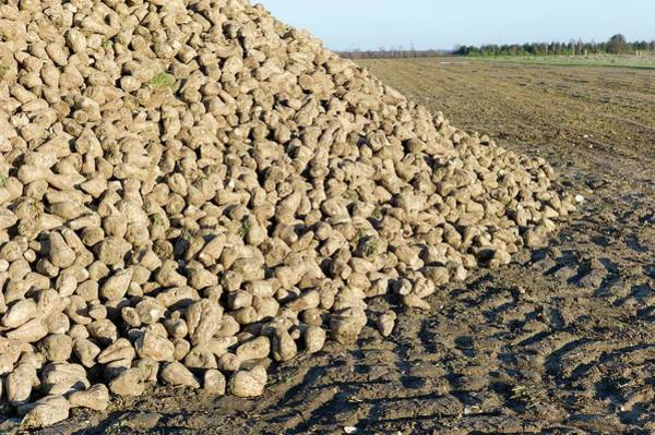 Beet Wall Art - Photograph - A Heap Of Harvested Sugar Beet by Dr Jeremy Burgess/science Photo Library