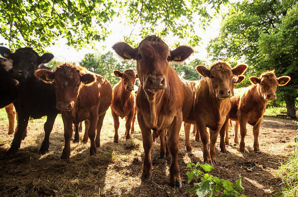 Staring Photograph - A Herd Of Cows Staring At The Camera by John Short / Design Pics