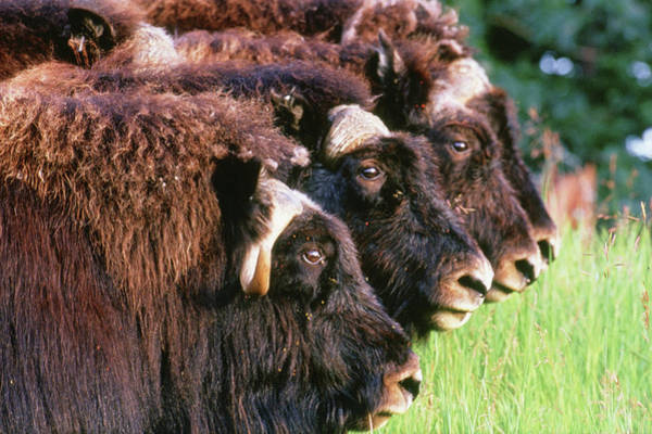 Wall Art - Photograph - A Herd Of Musk Ox Ovibos Moschatus by Cary Anderson