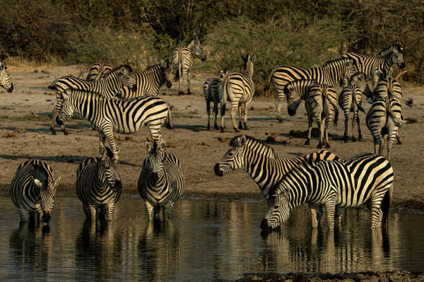 Herbivorous Photograph - A Herd Of Zebras, Equus Quagga, Drink by Beverly Joubert
