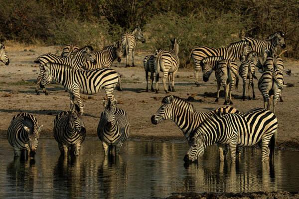 Wall Art - Photograph - A Herd Of Zebras, Equus Quagga, Drink by Beverly Joubert