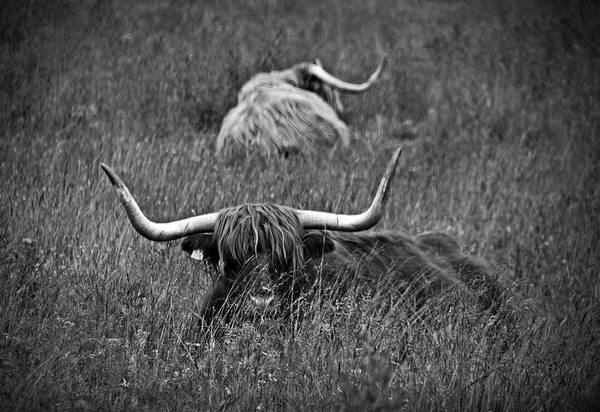 Photograph - A Highland Cattle In The Scottish Highlands by RicardMN Photography