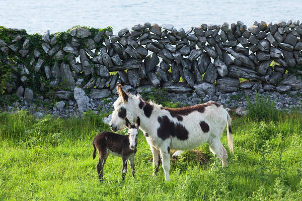 Photograph - A Horse And Calf Standing Beside A by Peter Zoeller / Design Pics
