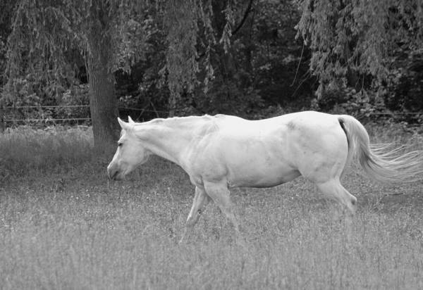 Wall Art - Photograph - A Horse Named Sprite - Black And White by Suzanne Gaff