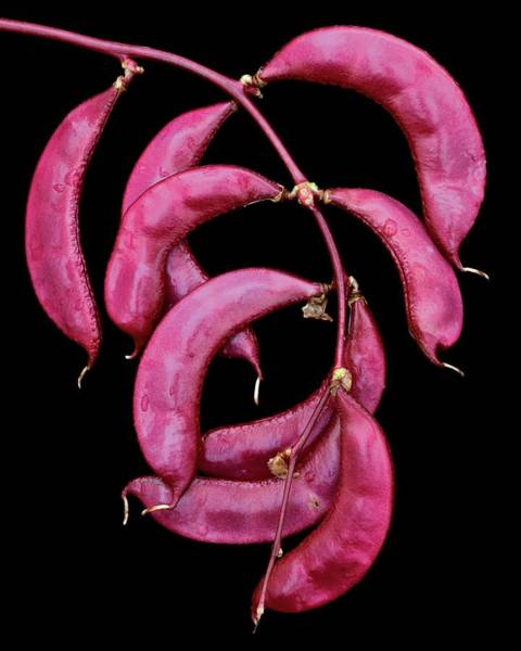 2003 Photograph - A Hyacinth Bean by Christopher Beane