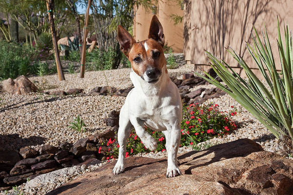 Fox Terrier Wall Art - Photograph - A Jack Russell Terrier Standing by Zandria Muench Beraldo