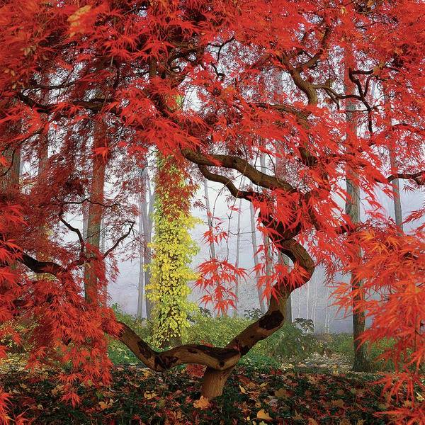 Plant Photograph - A Japanese Maple Tree by Richard Felber