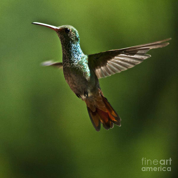 Photograph - A Jewel Flying by Heiko Koehrer-Wagner