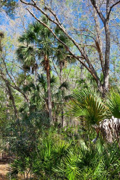Palmetto Photograph - A Jungle In Winter by W Chris Fooshee
