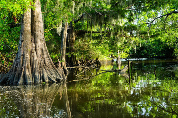 Wall Art - Photograph - A Jungle Of Bald Cypress Trees by Ellie Teramoto