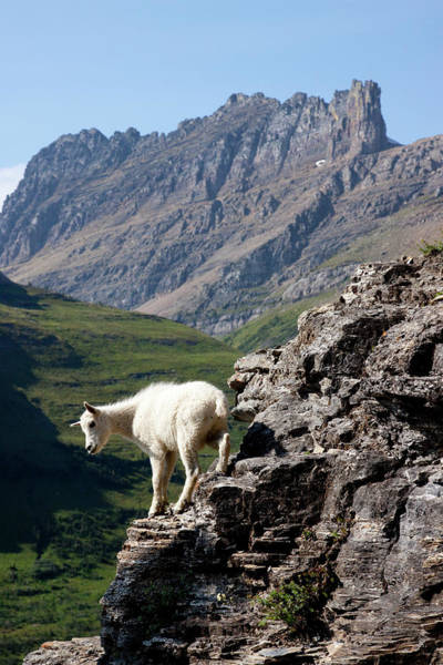 Goat Rocks Wilderness Wall Art - Photograph - A Kid Mountain Goat In Glacier National by Craig Moore